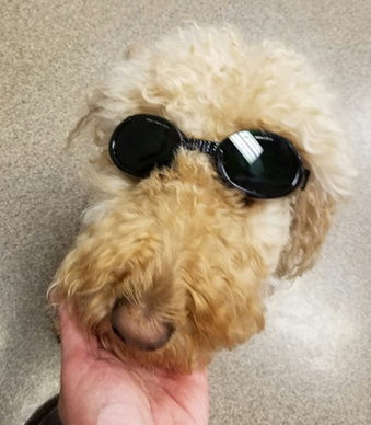 labradoodle after its laser therapy treatment